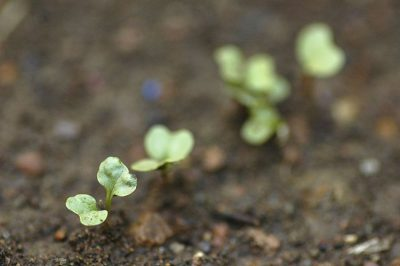 small young seedling plant growing soil ground free image