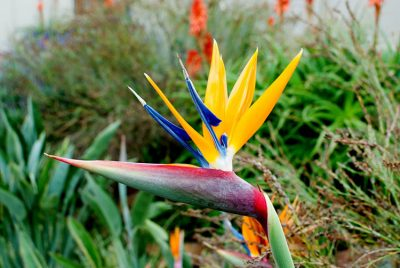 Strelitzia alba nicolai - great white-South Africa
